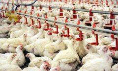 البرز عاری از بیماری آنفلوانزای فوق حاد پرندگان است